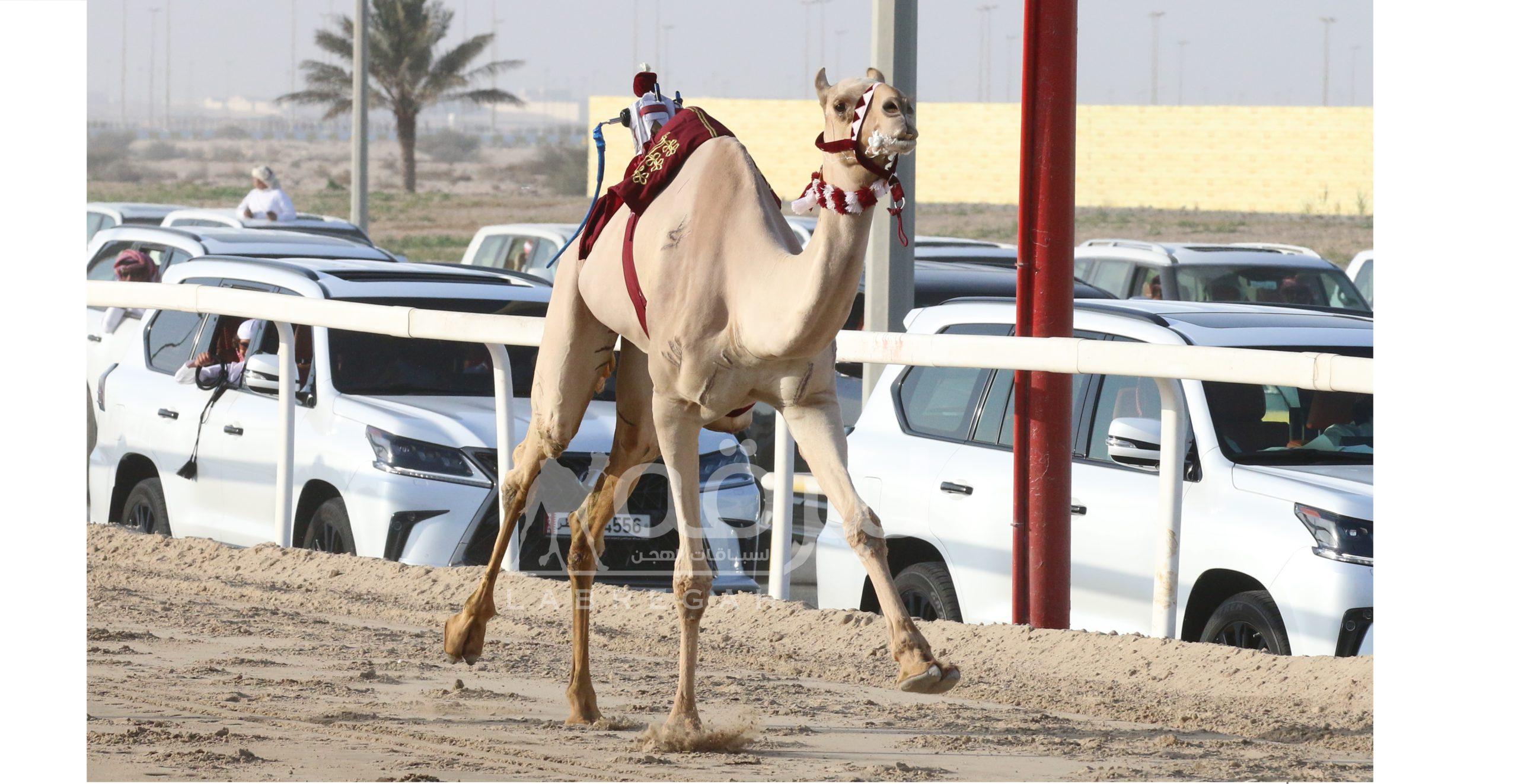 في أقوى أمسية تراثية.. هجن الشقب والمسند ينتزعان سيفي مهرجان الأمير الوالد 2021
