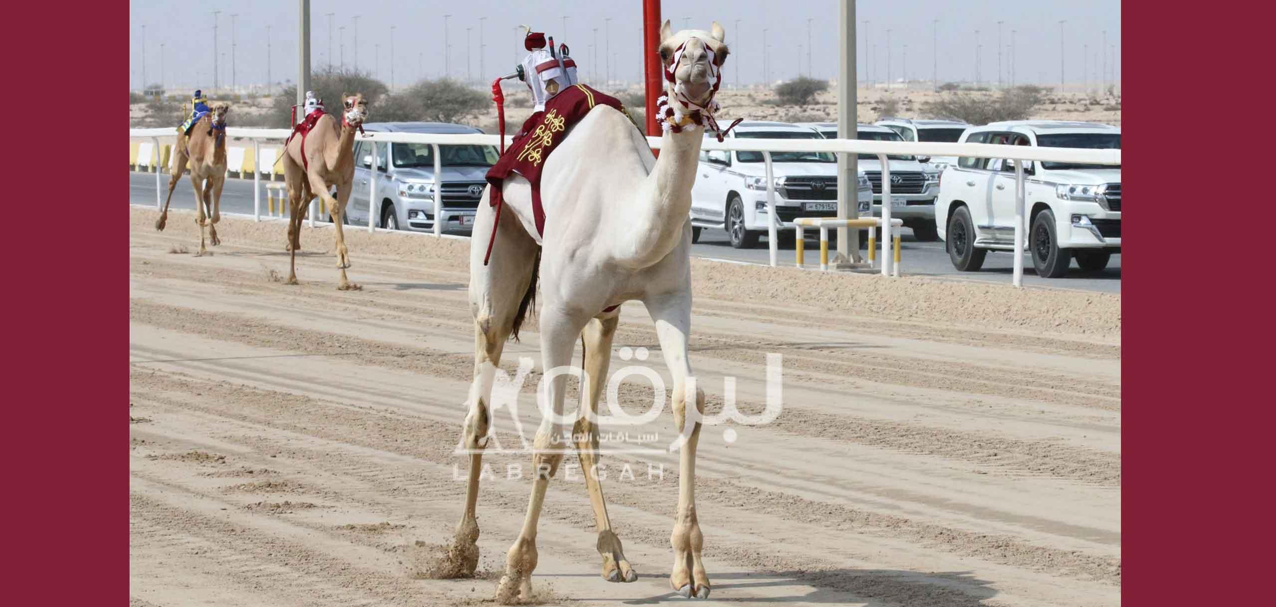 هجن الشقب تقص شريط السباق المحلي الثامن بإنتزاعها ناموسي الحقايق مفتوح