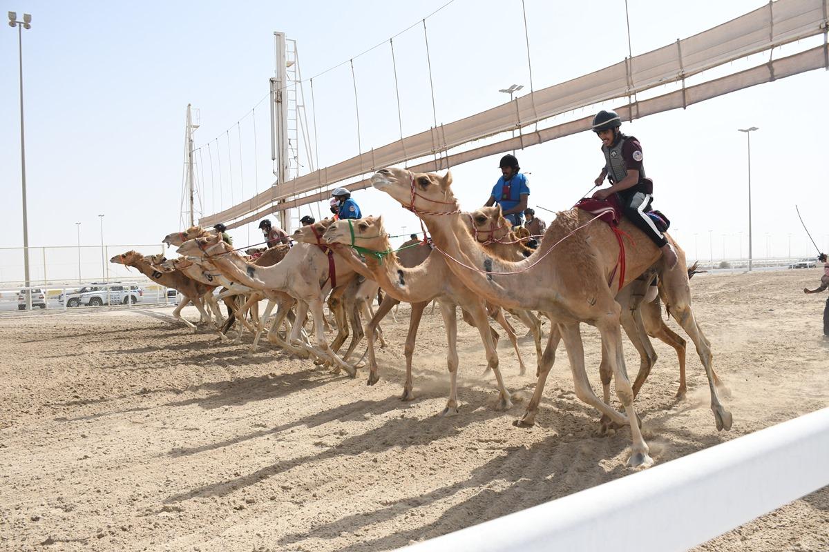 الكويتي علي المري يفوز بشوط  الاتحاد العربي لسباق الهجن التراثي