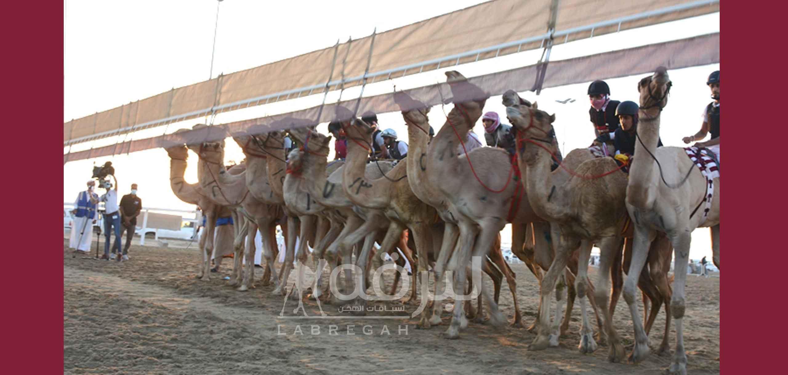 إضافة شوط رابع لمهرجان الهجن التراثي خاص بالإتحاد العربي لسباقات الهجن